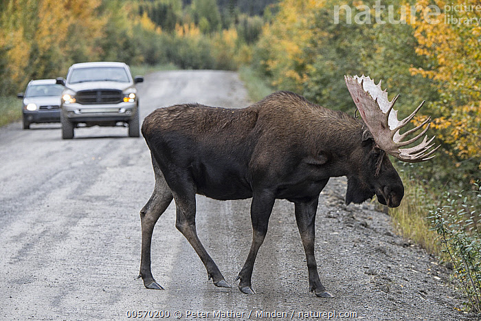 Moose (Alces alces) bull bull crossing Dempster Highway, northern Yukon, Canada  ,  Adult, Alces alces, Bull, Canada, Car, Color Image, Crossing, Day, Dempster Highway, Encroaching, Environmental Issue, Full Length, Habitat Loss, Horizontal, Male, Moose, Nobody, One Animal, Outdoors, Photography, Road, Side View, Wildlife, Yukon,Moose,Canada  ,  Peter Mather