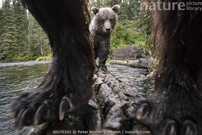 Brown Bear (Ursus arctos) mother and cub on log in river, Yukon, Canada  ,  Adult, Approaching, Baby, Brown Bear, Camera Trap, Canada, Claw, Close Up, Color Image, Cub, Day, Female, Following, Front View, Full Length, Horizontal, Looking at Camera, Mother, Nobody, Outdoors, Parent, Peeking, Photography, River, Two Animals, Ursus arctos, Wide-angle Lens, Wildlife, Yukon,Brown Bear,Canada  ,  Peter Mather