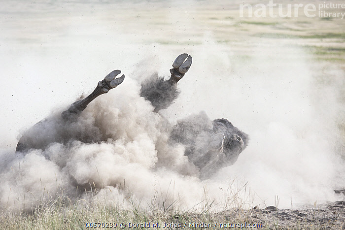 American Bison (Bison bison) dust bathing, Moise, Montana  ,  Adult, American Bison, Bison bison, Color Image, Day, Dust Bathing, Full Length, Horizontal, Moise, Montana, Nobody, One Animal, Outdoors, Photography, Rolling, Side View, Underside, Wildlife,American Bison,Montana, USA  ,  Donald M. Jones
