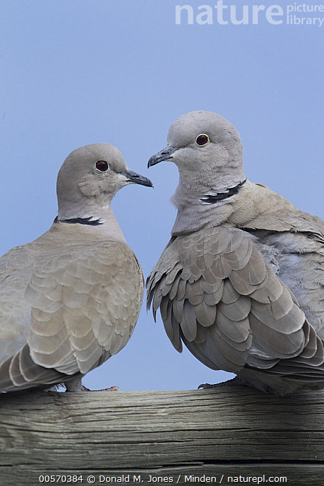 Eurasian Collared-Dove (Streptopelia decaocto) female and male, Moise, Montana  ,  Adult, Color Image, Day, Eurasian Collared-Dove, Female, Male, Moise, Montana, Nobody, Outdoors, Photography, Rear View, Streptopelia decaocto, Two Animals, Vertical, Waist Up, Wildlife,Eurasian Collared-Dove,Montana, USA  ,  Donald M. Jones