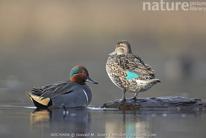 Common Teal (Anas crecca) male and female in breeding plumage, central Montana  ,  Adult, Anas crecca, Breeding Plumage, Color Image, Common Teal, Day, Dimorphic, Drake, Female, Full Length, Horizontal, Male, Montana, Nobody, Outdoors, Photography, Sexual Dimorphism, Side View, Two Animals, Waterfowl, Wildlife,Common Teal,Montana, USA  ,  Donald M. Jones