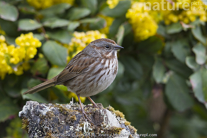 Song Sparrow (Melospiza melodia), Troy, Montana  ,  Adult, Color Image, Day, Full Length, Horizontal, Melospiza melodia, Montana, Nobody, One Animal, Outdoors, Photography, Side View, Song Sparrow, Songbird, Troy, Wildlife,Song Sparrow,Montana, USA  ,  Donald M. Jones