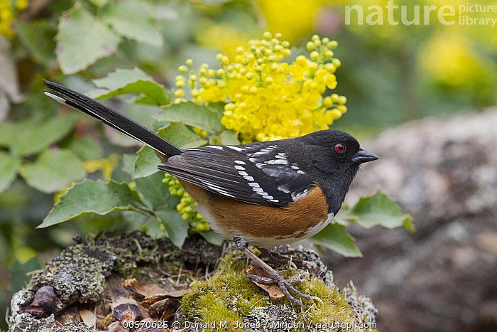 Spotted Towhee (Pipilo maculatus) in spring, Troy, Montana  ,  Adult, Color Image, Day, Full Length, Horizontal, Montana, Nobody, One Animal, Outdoors, Photography, Pipilo maculatus, Side View, Songbird, Spotted Towhee, Spring, Troy, Wildlife,Spotted Towhee,Montana, USA  ,  Donald M. Jones