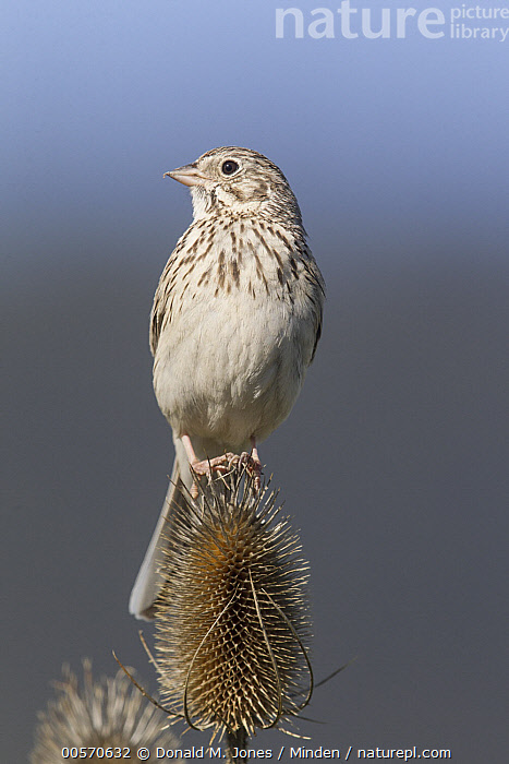 Vesper Sparrow (Pooecetes gramineus) male on Teasel (Dipsacus sp), Moise, Montana  ,  Adult, Color Image, Day, Dipsacus sp, Front View, Full Length, Male, Moise, Montana, Nobody, One Animal, Outdoors, Photography, Pooecetes gramineus, Songbird, Teasel, Vesper Sparrow, Vertical, Wildlife,Vesper Sparrow,Teasel,Dipsacus sp,Montana, USA  ,  Donald M. Jones