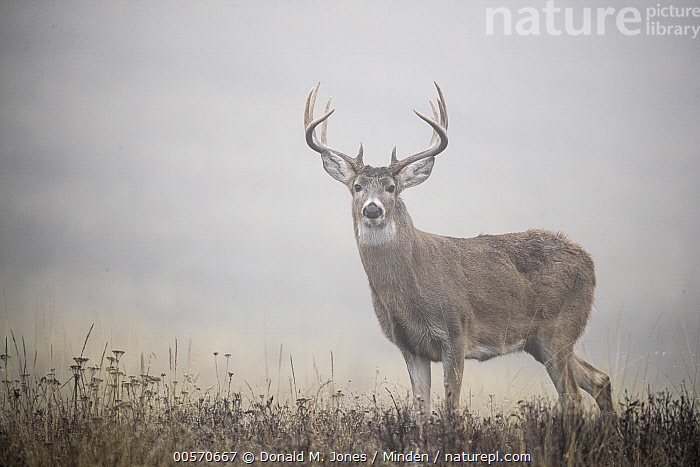 White-tailed Deer (Odocoileus virginianus) mature buck in fog, western Montana  ,  Adult, Buck, Color Image, Day, Fog, Full Length, Horizontal, Looking at Camera, Male, Montana, Nobody, Odocoileus virginianus, One Animal, Outdoors, Photography, Side View, White-tailed Deer, Wildlife,White-tailed Deer,Montana, USA  ,  Donald M. Jones