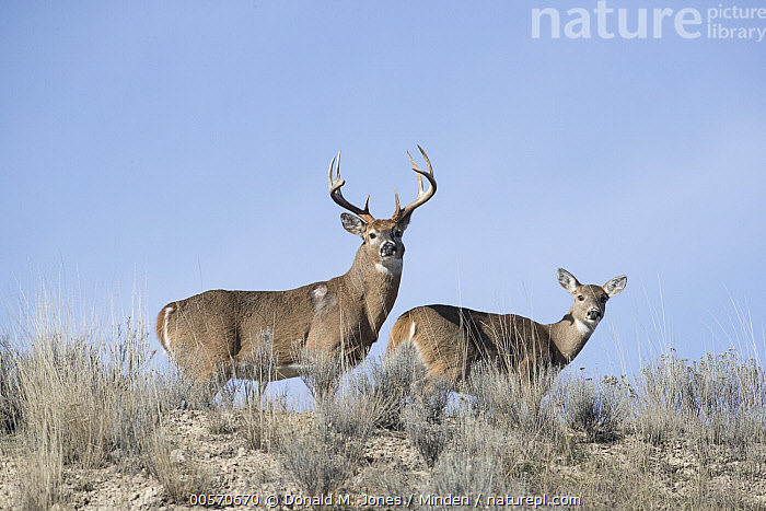 White-tailed Deer (Odocoileus virginianus) buck and doe during fall rut, western Montana  ,  Adult, Buck, Color Image, Day, Dimorphic, Doe, Fall, Female, Full Length, Horizontal, Looking at Camera, Low Angle View, Male, Montana, Nobody, Odocoileus virginianus, Outdoors, Photography, Rut, Sexual Dimorphism, Side View, Two Animals, White-tailed Deer, Wildlife,White-tailed Deer,Montana, USA  ,  Donald M. Jones