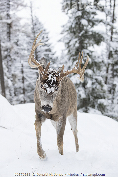 White-tailed Deer (Odocoileus virginianus) buck in winter, western Montana  ,  Adult, Buck, Color Image, Day, Front View, Full Length, Male, Montana, Nobody, Odocoileus virginianus, One Animal, Outdoors, Photography, Snow, Vertical, White-tailed Deer, Wildlife, Winter,White-tailed Deer,Montana, USA  ,  Donald M. Jones