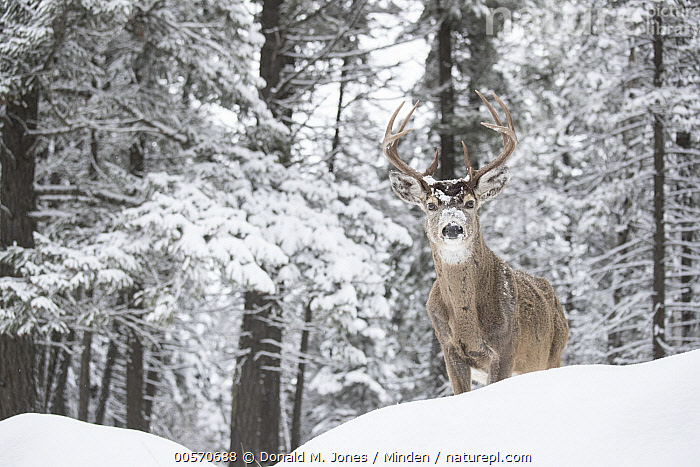 White-tailed Deer (Odocoileus virginianus) buck in winter, western Montana  ,  Adult, Buck, Color Image, Day, Front View, Full Length, Horizontal, Looking at Camera, Male, Montana, Nobody, Odocoileus virginianus, One Animal, Outdoors, Photography, Snow, White-tailed Deer, Wildlife, Winter,White-tailed Deer,Montana, USA  ,  Donald M. Jones