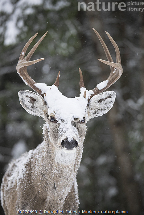 White-tailed Deer (Odocoileus virginianus) buck in winter, western Montana  ,  Adult, Buck, Close Up, Color Image, Day, Front View, Looking at Camera, Male, Montana, Nobody, Odocoileus virginianus, One Animal, Outdoors, Photography, Snow, Three Quarter Length, Vertical, White-tailed Deer, Wildlife, Winter,White-tailed Deer,Montana, USA  ,  Donald M. Jones