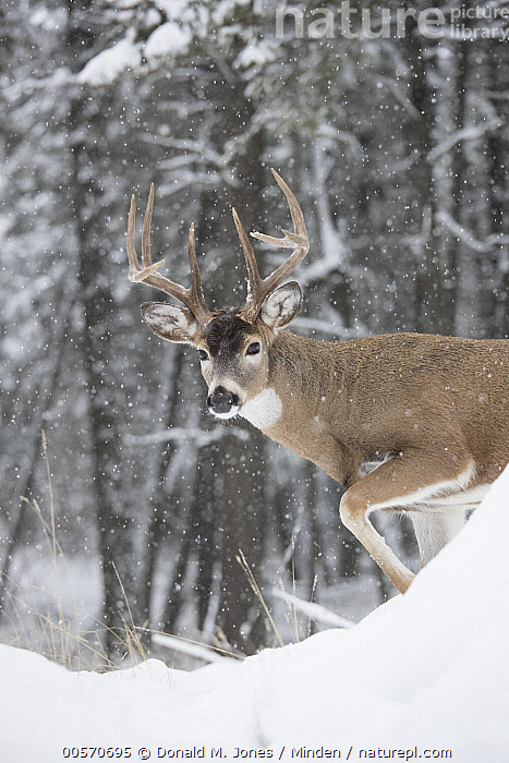 White-tailed Deer (Odocoileus virginianus) buck in winter, western Montana  ,  Adult, Buck, Color Image, Day, Looking at Camera, Male, Montana, Nobody, Odocoileus virginianus, One Animal, Outdoors, Photography, Side View, Snow, Vertical, Waist Up, White-tailed Deer, Wildlife, Winter,White-tailed Deer,Montana, USA  ,  Donald M. Jones