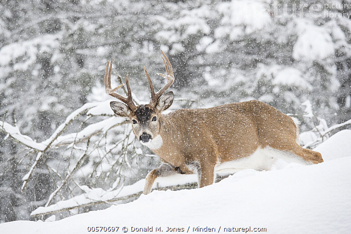 White-tailed Deer (Odocoileus virginianus) buck in winter, western Montana  ,  Adult, Buck, Color Image, Day, Full Length, Horizontal, Looking at Camera, Male, Montana, Nobody, Odocoileus virginianus, One Animal, Outdoors, Photography, Side View, Snow, White-tailed Deer, Wildlife, Winter,White-tailed Deer,Montana, USA  ,  Donald M. Jones