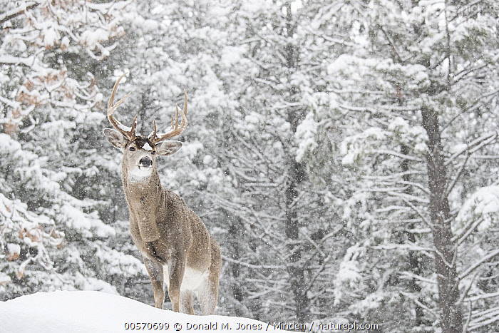 White-tailed Deer (Odocoileus virginianus) buck in winter in forest, western Montana  ,  Adult, Animal in Habitat, Buck, Color Image, Day, Forest, Full Length, Horizontal, Male, Montana, Nobody, Odocoileus virginianus, One Animal, Outdoors, Photography, Side View, Snow, White-tailed Deer, Wildlife, Winter,White-tailed Deer,Montana, USA  ,  Donald M. Jones