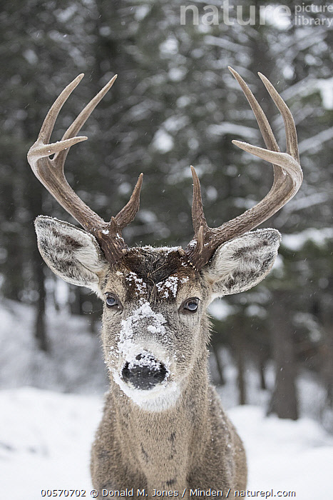 White-tailed Deer (Odocoileus virginianus) buck in winter, western Montana  ,  Adult, Buck, Close Up, Color Image, Day, Front View, Head and Shoulders, Looking at Camera, Male, Montana, Nobody, Odocoileus virginianus, One Animal, Outdoors, Photography, Portrait, Snow, Vertical, White-tailed Deer, Wildlife, Winter,White-tailed Deer,Montana, USA  ,  Donald M. Jones