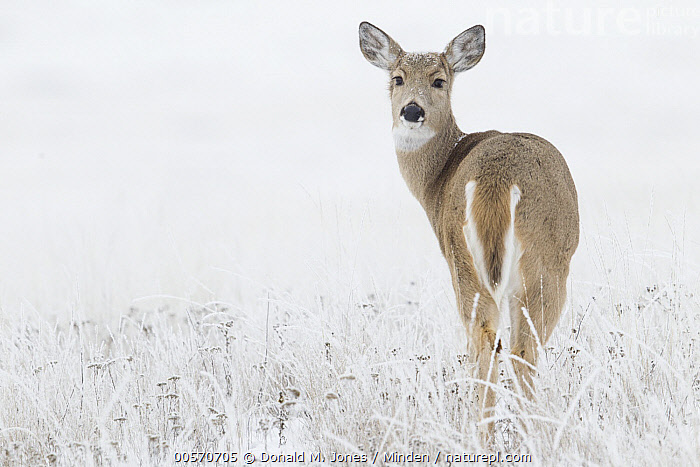 White-tailed Deer (Odocoileus virginianus) doe in winter, eastern Montana  ,  Adult, Color Image, Day, Doe, Female, Full Length, Horizontal, Looking at Camera, Looking Back, Montana, Nobody, Odocoileus virginianus, One Animal, Outdoors, Photography, Rear View, Snow, White-tailed Deer, Wildlife, Winter,White-tailed Deer,Montana, USA  ,  Donald M. Jones