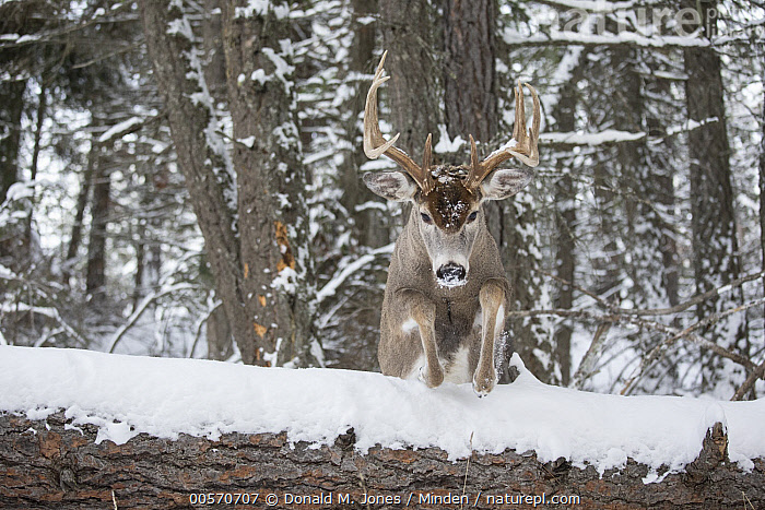 White-tailed Deer (Odocoileus virginianus) buck jumping in winter, western Montana  ,  Adult, Approaching, Buck, Color Image, Day, Front View, Full Length, Horizontal, Jumping, Male, Montana, Nobody, Odocoileus virginianus, One Animal, Outdoors, Photography, Snow, White-tailed Deer, Wildlife, Winter,White-tailed Deer,Montana, USA  ,  Donald M. Jones