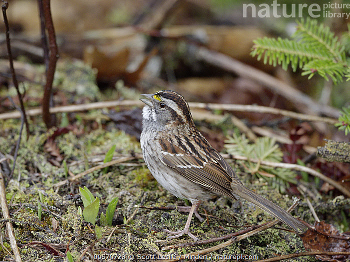 White-throated Sparrow (Zonotrichia albicollis) male calling in spring, Nova Scotia, Canada  ,  Adult, Calling, Canada, Color Image, Day, Full Length, Horizontal, Male, Nobody, Nova Scotia, One Animal, Open Mouth, Outdoors, Photography, Side View, Songbird, Spring, White-throated Sparrow, Wildlife, Zonotrichia albicollis,White-throated Sparrow,Canada  ,  Scott Leslie