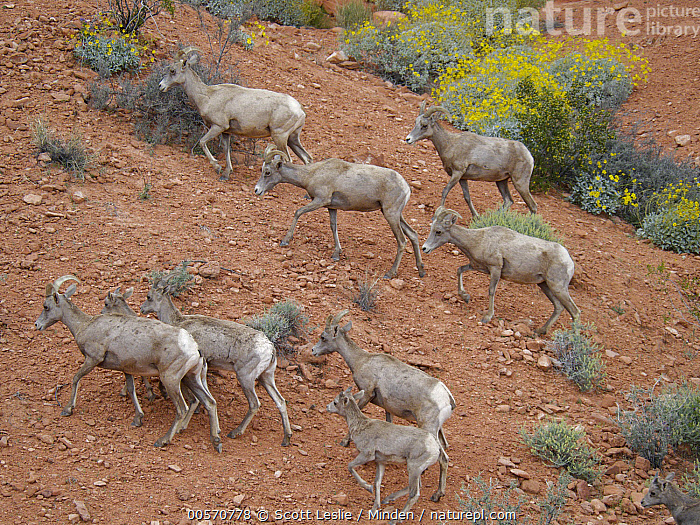 Desert Bighorn Sheep (Ovis canadensis nelsoni) mothers and lambs, Valley of Fire State Park, Nevada, Adult, Baby, Color Image, Day, Desert Bighorn Sheep, Endemic, Female, Full Length, Herd, Horizontal, Lamb, Medium Group of Animals, Mother, Nevada, Nobody, Outdoors, Ovis canadensis nelsoni, Parent, Photography, Side View, Valley of Fire State Park, Wildlife,Desert Bighorn Sheep,Nevada, USA, Scott Leslie