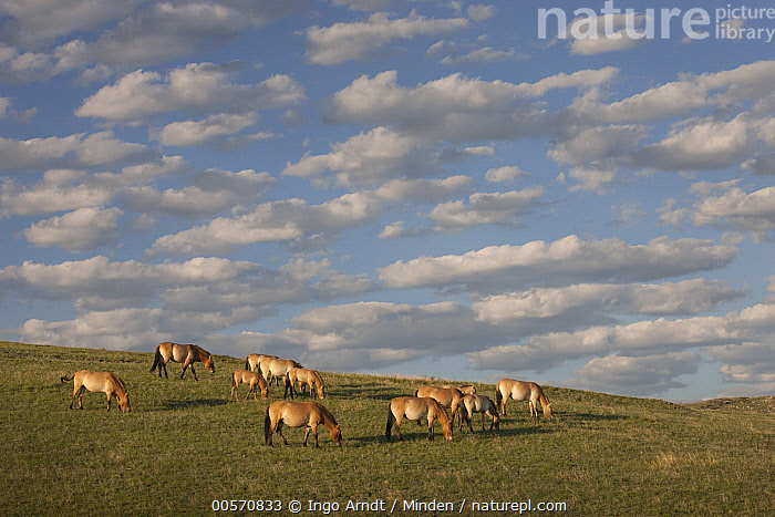 Przewalski's Horse (Equus ferus przewalskii) herd grazing in steppe, Hustai National Park, Mongolia  ,  Adult, Animal in Habitat, Color Image, Day, Endangered Species, Endemic, Equus ferus przewalskii, Full Length, Grazing, Herd, Horizontal, Hustai National Park, Large Group of Animals, Mongolia, Nobody, Outdoors, Photography, Przewalski's Horse, Side View, Steppe, Wildlife,Przewalski's Horse,Mongolia  ,  Ingo Arndt
