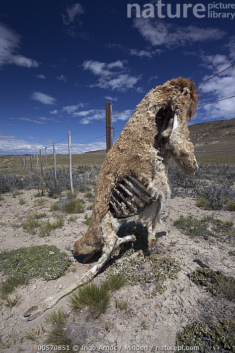 Guanaco (Lama guanicoe), dead after being caught in wire fence, Patagonia, Chile  ,  Adult, Carcass, Caught, Chile, Color Image, Day, Dead, Death, Encroaching, Environmental Issue, Fence, Full Length, Guanaco, Habitat Fragmentation, Lama guanicoe, Nobody, One Object, Outdoors, Patagonia, Photography, Side View, Vertical, Wildlife,Guanaco,Chile  ,  Ingo Arndt