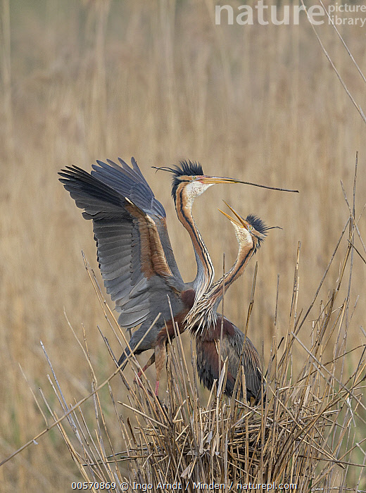 Purple Heron (Ardea purpurea) pair courting and building nest in reeds, Germany, Adult, Ardea purpurea, Carrying, Color Image, Courting, Day, Displaying, Female, Full Length, Germany, Male, Nest, Nesting, Nobody, Outdoors, Photography, Purple Heron, Side View, Spreading Wings, Two Animals, Vertical, Wading Bird, Wildlife,Purple Heron,Germany, Ingo Arndt