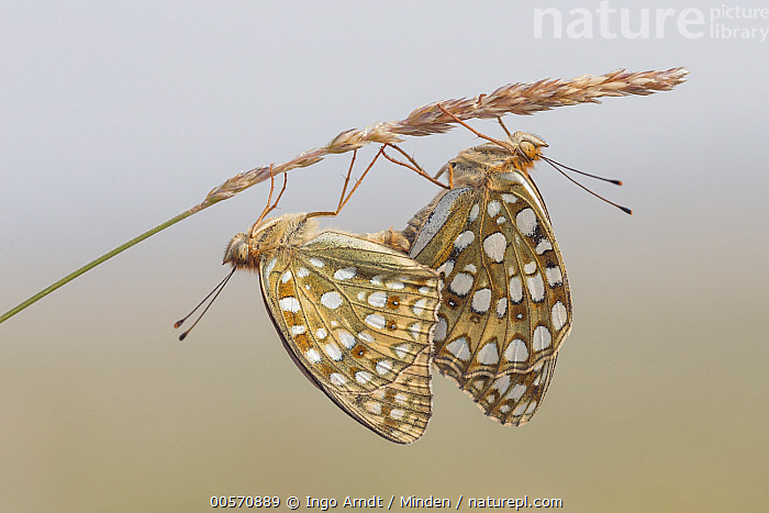 Niobe Fritillary (Argynnis niobe) pair mating, eastern Mongolia  ,  Adult, Argynnis niobe, Butterfly, Color Image, Day, Female, Full Length, Hanging, Horizontal, Male, Mating, Mongolia, Niobe Fritillary, Nobody, Outdoors, Photography, Side View, Two Animals, Upside Down, Wildlife,Niobe Fritillary,Mongolia  ,  Ingo Arndt
