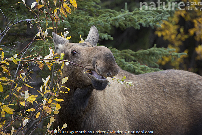 Alaska Moose (Alces alces gigas) female feeding on Aspen (Populus tremuloides) leaves in autumn, Denali National Park, Alaska  ,  Adult, Alces alces gigas, Alaska, Alaska Moose, Aspen, Autumn, Browsing, Close-up, Color Image, Day, Denali National Park, Female, Horizontal, Nobody, One Animal, Outdoors, Photography, Populus tremuloides, Side View, Waist Up, Wildlife,Alaska Moose,Aspen,Populus tremuloides,Alaska, USA  ,  Matthias Breiter