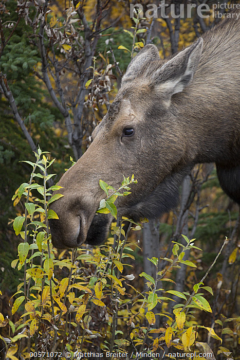 Alaska Moose (Alces alces gigas) female feeding on Aspen (Populus tremuloides) leaves in autumn, Denali National Park, Alaska  ,  Adult, Alces alces gigas, Alaska, Alaska Moose, Aspen, Autumn, Browsing, Close-up, Color Image, Day, Denali National Park, Female, Head, Nobody, One Animal, Outdoors, Photography, Populus tremuloides, Side View, Vertical, Wildlife,Alaska Moose,Aspen,Populus tremuloides,Alaska, USA  ,  Matthias Breiter