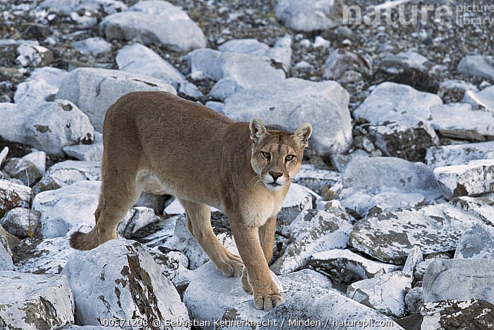 Mountain Lion (Puma concolor) female, Torres del Paine National Park, Patagonia, Chile  ,  Adult, Animal, Cat, Chile National Park, Chile, Color Image, Cougar, Day, Felidae, Female, Full Length, High Angle View, Horizontal, Looking, Looking at Camera, Mammal, Mountain Lion, National Park, Nobody, One Animal, Outdoors, Patagonia, Photography, Puma, Puma concolor, Puma sp, Side View, South America, Torres Del Paine National Park, Wild Cat, Wildlife,Mountain Lion,Chile  ,  Sebastian Kennerknecht
