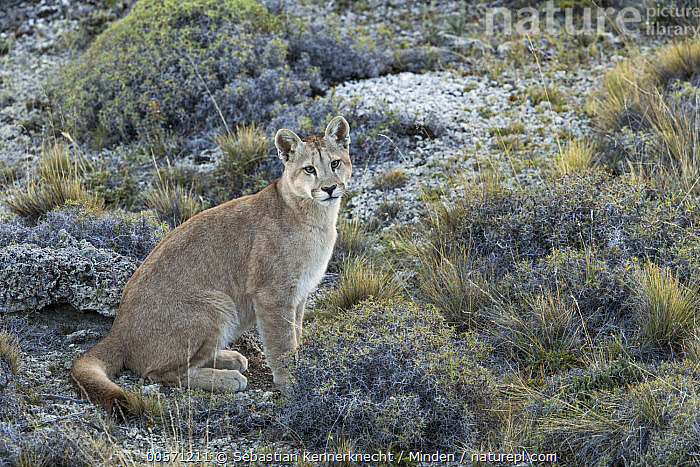 Mountain Lion (Puma concolor) six month old female cub, Torres del Paine National Park, Patagonia, Chile  ,  Animal, Baby, Cat, Chile National Park, Chile, Color Image, Cougar, Cub, Day, Felidae, Female, Full Length, Horizontal, Kitten, Looking, Looking at Camera, Mammal, Mountain Lion, National Park, Nobody, One Animal, Outdoors, Patagonia, Photography, Puma, Puma concolor, Puma sp, Side View, South America, Torres Del Paine National Park, Wild Cat, Wildlife, Young,Mountain Lion,Chile  ,  Sebastian Kennerknecht