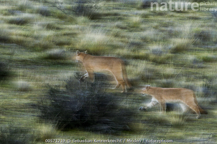 Mountain Lion (Puma concolor) mother and six month old cub walking through pre-andean shrubland, Torres del Paine National Park, Patagonia, Chile  ,  Adult, Animal, Baby, Blurred Motion, Cat, Chile National Park, Chile, Color Image, Cougar, Cub, Day, Felidae, Female, Full Length, Horizontal, Kitten, Mammal, Mother, Mountain Lion, National Park, Nobody, Outdoors, Panning, Parent, Patagonia, Photography, Pre-Andean Shrubland, Puma, Puma concolor, Puma sp, Running, Shrubland, Side View, South America, Torres Del Paine National Park, Two Animals, Wild Cat, Wildlife, Young,Mountain Lion,Chile  ,  Sebastian Kennerknecht