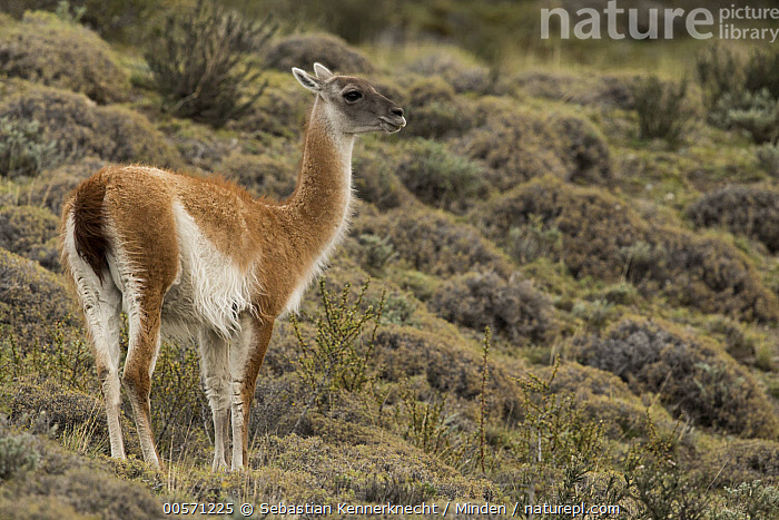 Guanaco (Lama guanicoe), Torres del Paine National Park, Patagonia, Chile  ,  Adult, Animal, Camelidae, Chile National Park, Chile, Color Image, Day, Full Length, Guanaco, Horizontal, Lama guanicoe, Lama sp, Mammal, National Park, Nobody, One Animal, Outdoors, Patagonia, Photography, Side View, South America, Torres Del Paine National Park, Ungulate, Wildlife,Guanaco,Chile  ,  Sebastian Kennerknecht