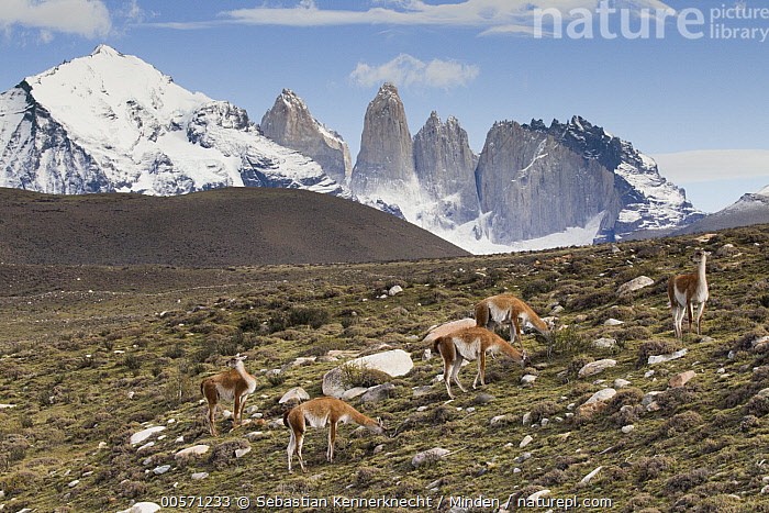 Guanaco (Lama guanicoe) herd in pre-andean shrubland, Torres del Paine, Torres del Paine National Park, Patagonia, Chile  ,  Adult, Animal, Animal in Habitat, Camelidae, Chile National Park, Chile, Color Image, Cordillera Paine, Day, Five Animals, Full Length, Guanaco, Herd, Horizontal, Lama guanicoe, Lama sp, Mammal, Mountain, Mountain Range, National Park, Nobody, Outdoors, Patagonia, Peak, Photography, Pre-Andean Shrubland, Shrubland, Side View, South America, Torres Del Paine National Park, Torres Del Paine, Towers of Paine, Ungulate, Wildlife,Guanaco,Chile  ,  Sebastian Kennerknecht