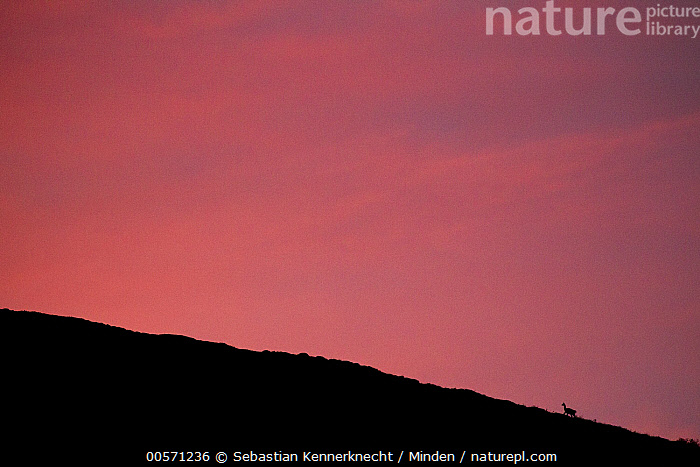 Guanaco (Lama guanicoe) on ridge at sunset with pink sky, Torres del Paine National Park, Patagonia, Chile  ,  Abstract, Adult, Animal, Animal in Landscape, Camelidae, Chile National Park, Chile, Color Image, Day, Full Length, Guanaco, Horizontal, Lama guanicoe, Lama sp, Mammal, National Park, Nobody, One Animal, Outdoors, Patagonia, Photography, Pink, Side View, Silhouette, South America, Sunrise, Sunset, Torres Del Paine National Park, Ungulate, Wildlife,Guanaco,Chile  ,  Sebastian Kennerknecht
