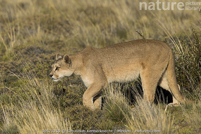 Mountain Lion (Puma concolor) female, Torres del Paine National Park, Patagonia, Chile  ,  Adult, Animal, Cat, Chile National Park, Chile, Color Image, Cougar, Day, Felidae, Full Length, Horizontal, Mammal, Mountain Lion, National Park, Nobody, One Animal, Outdoors, Patagonia, Photography, Puma, Puma concolor, Puma sp, Side View, South America, Stalking, Torres Del Paine National Park, Wild Cat, Wildlife,Mountain Lion,Chile  ,  Sebastian Kennerknecht