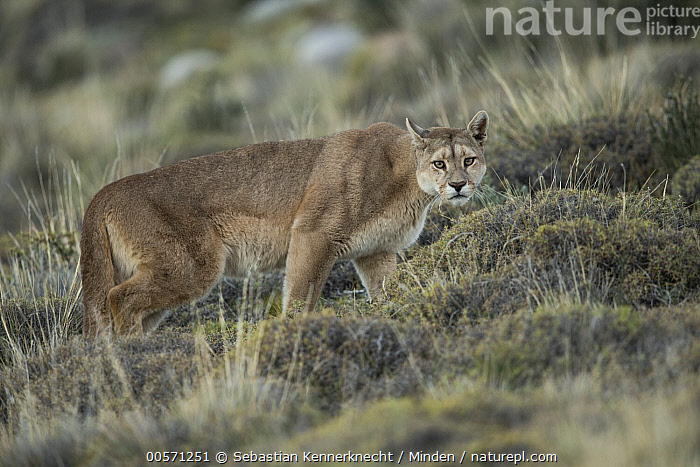 Mountain Lion (Puma concolor) female, Torres del Paine National Park, Patagonia, Chile  ,  Adult, Animal, Cat, Chile National Park, Chile, Color Image, Cougar, Day, Felidae, Female, Full Length, Horizontal, Looking, Looking at Camera, Mammal, Mountain Lion, National Park, Nobody, One Animal, Outdoors, Patagonia, Photography, Puma, Puma concolor, Puma sp, Side View, South America, Torres Del Paine National Park, Wild Cat, Wildlife,Mountain Lion,Chile  ,  Sebastian Kennerknecht