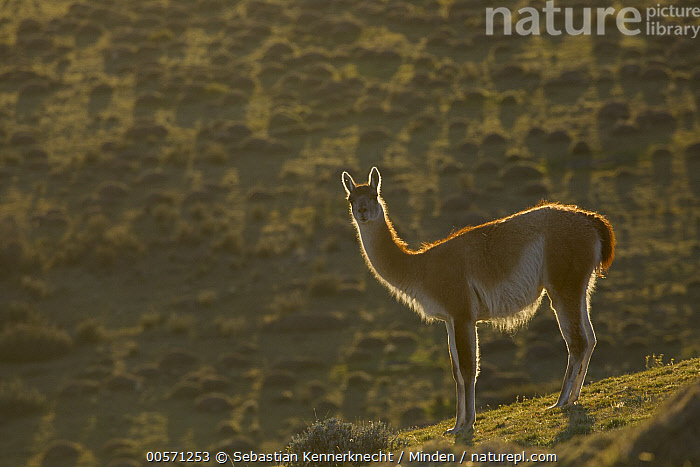 Guanaco (Lama guanicoe), Torres del Paine National Park, Patagonia, Chile  ,  Adult, Animal, Backlighting, Camelidae, Chile National Park, Chile, Color Image, Day, Full Length, Guanaco, Horizontal, Lama guanicoe, Lama sp, Looking, Looking at Camera, Mammal, National Park, Nobody, One Animal, Outdoors, Patagonia, Photography, Side View, South America, Torres Del Paine National Park, Ungulate, Wildlife,Guanaco,Chile  ,  Sebastian Kennerknecht