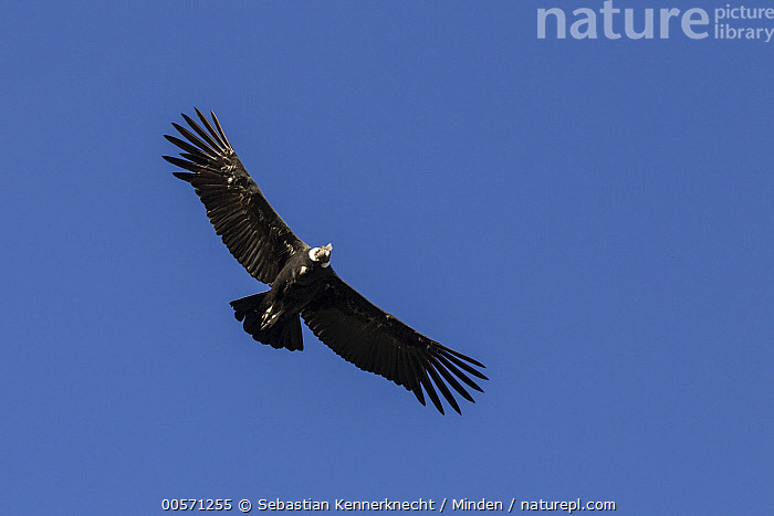 Andean Condor (Vultur gryphus) male flying, Torres del Paine National Park, Patagonia, Chile  ,  Adult, Andean Condor, Animal, Bird, Chile National Park, Chile, Color Image, Condor, Day, Flying, Full Length, Horizontal, Male, National Park, Nobody, One Animal, Outdoors, Patagonia, Photography, Raptor, South America, Torres Del Paine National Park, Underside, Vultur gryphus, Vulture, Wildlife,Andean Condor,Chile  ,  Sebastian Kennerknecht