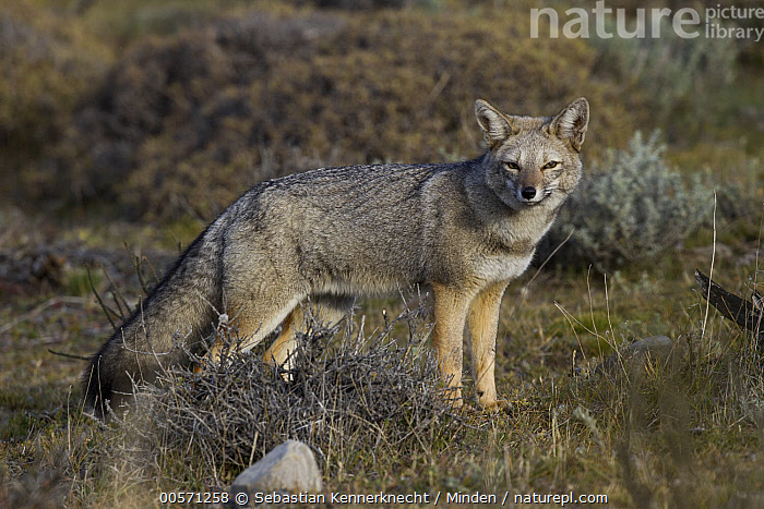 South American Gray Fox (Lycalopex griseus), Torres del Paine National Park, Patagonia, Chile  ,  Adult, Animal, Canidae, Chile National Park, Chile, Color Image, Day, Fox, Full Length, Gray Fox, Horizontal, Looking, Looking at Camera, Lycalopex sp, Lycalopex griseus, Mammal, National Park, Nobody, One Animal, Outdoors, Patagonia, Photography, Side View, South America, South American Gray Fox, Torres Del Paine National Park, Wildlife,South American Gray Fox,Chile  ,  Sebastian Kennerknecht