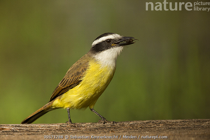 Great Kiskadee (Pitangus sulphuratus) with insect prey, Ibera Provincial Reserve, Ibera Wetlands, Argentina  ,  Adult, Animal, Argentina, Arthropod, Bird, Carrying, Color Image, Day, Full Length, Great Kiskadee, Horizontal, Ibera Wetlands, Ibera Provincial Reserve, Insect, Invertebrate, Nobody, One Animal, Outdoors, Photography, Pitangus sp, Pitangus sulphuratus, Predator, Prey, Side View, South America, Tyrannidae, Wildlife,Great Kiskadee,Argentina  ,  Sebastian Kennerknecht