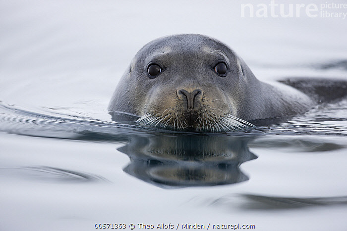 Bearded Seal (Erignathus barbatus), Svalbard, Norway  ,  Adult, Bearded Seal, Close Up, Color Image, Day, Erignathus barbatus, Face, Front View, Head and Shoulders, Horizontal, Looking at Camera, Marine Mammal, Nobody, Norway, One Animal, Outdoors, Photography, Portrait, Svalbard, Wildlife,Bearded Seal,Norway  ,  Theo Allofs