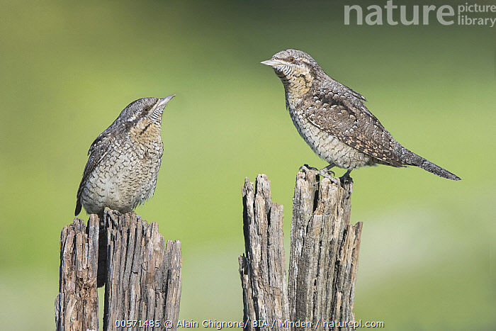 Eurasian Wryneck (Jynx torquilla) pair, Aosta Valley, Italy  ,  Adult, Aosta Valley, Color Image, Day, Eurasian Wryneck, Full Length, Horizontal, Italy, Jynx torquilla, Nobody, Outdoors, Photography, Side View, Two Animals, Wildlife,Eurasian Wryneck,Italy  ,  Alain Ghignone/ BIA