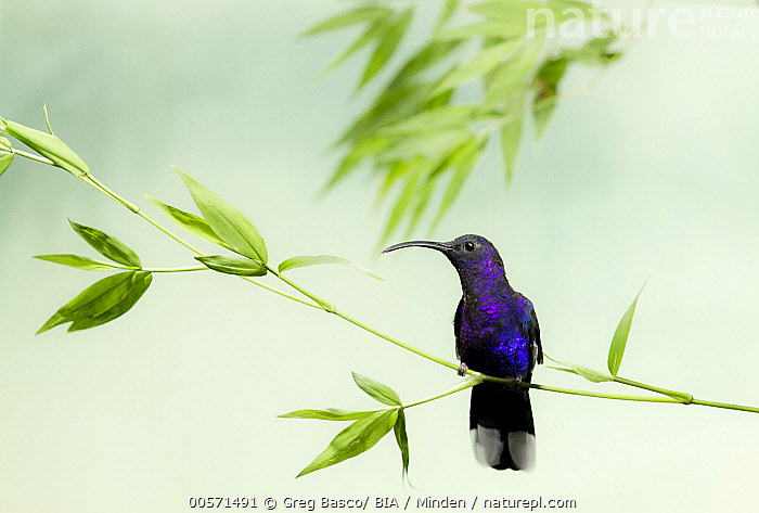 Violet Sabre-wing (Campylopterus hemileucurus) male, Costa Rica  ,  Adult, Campylopterus hemileucurus, Color Image, Costa Rica, Day, Front View, Full Length, Horizontal, Hummingbird, Male, Nobody, One Animal, Outdoors, Photography, Solitary, Solitude, Violet Sabre-wing, Wildlife,Violet Sabre-wing,Costa Rica  ,  Greg Basco/ BIA