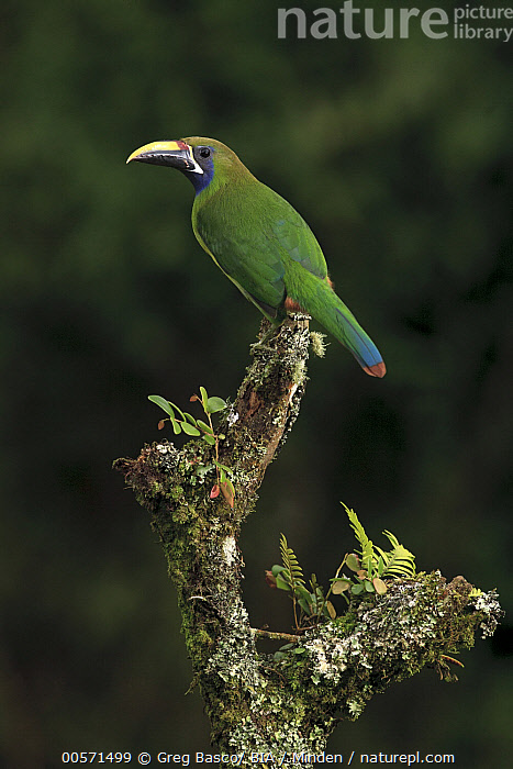Blue-throated Toucanet (Aulacorhynchus caeruleogularis), Costa Rica  ,  Adult, Aulacorhynchus caeruleogularis, Blue-throated Toucanet, Color Image, Costa Rica, Day, Full Length, Nobody, One Animal, Outdoors, Photography, Side View, Vertical, Wildlife,Blue-throated Toucanet,Costa Rica  ,  Greg Basco/ BIA