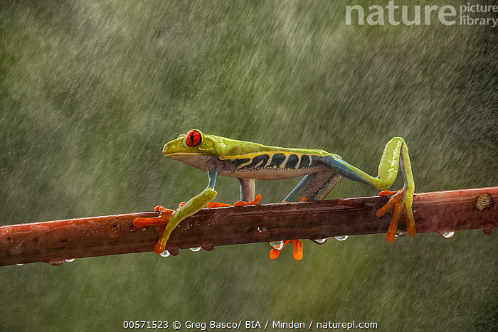 Red-eyed Tree Frog (Agalychnis callidryas) in rainfall, Costa Rica  ,  Adult, Agalychnis callidryas, Color Image, Costa Rica, Day, Full Length, Horizontal, Nobody, One Animal, Outdoors, Photography, Rainfall, Red-eyed Tree Frog, Side View, Wet, Wildlife,Red-eyed Tree Frog,Costa Rica  ,  Greg Basco/ BIA