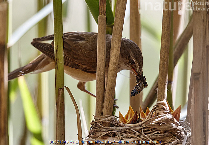 Great Reed-Warbler (Acrocephalus arundinaceus) parent feeding chicks in nest, Mecklenburg-Vorpommern, Germany, Acrocephalus arundinaceus, Adult, Baby, Begging, Bringing Food, Chick, Color Image, Day, Feeding, Full Length, Germany, Great Reed-Warbler, Horizontal, Mecklenburg-Vorpommern, Medium Group of Animals, Nest, Nobody, Open Mouth, Outdoors, Parent, Parenting, Photography, Side View, Songbird, Wildlife,Great Reed-Warbler,Germany, Chris Romeiks/ BIA