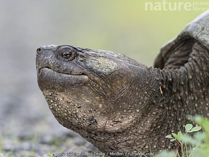 Snapping Turtle (Chelydra serpentina) female, Nova Scotia, Canada  ,  Adult, Canada, Chelydra serpentina, Color Image, Day, Female, Head and Shoulders, Horizontal, Nobody, Nova Scotia, One Animal, Outdoors, Photography, Portrait, Profile, Side View, Snapping Turtle, Wildlife,Snapping Turtle,Canada  ,  Scott Leslie