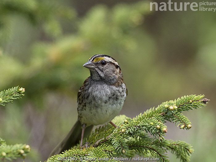 White-throated Sparrow (Zonotrichia albicollis), Cape Breton Highlands National Park, Nova Scotia, Canada  ,  Adult, Canada, Cape Breton Highlands National Park, Color Image, Day, Front View, Full Length, Horizontal, Nobody, Nova Scotia, One Animal, Outdoors, Photography, Songbird, White-throated Sparrow, Wildlife, Zonotrichia albicollis,White-throated Sparrow,Canada  ,  Scott Leslie