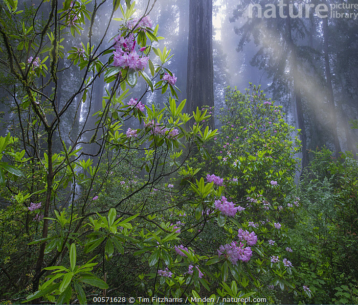 Rhododendron (Rhododendron sp) flowers and Coast Redwood (Sequoia sempervirens) trees in fog, Redwood National Park, California  ,  Blue Sky, California, Coast Redwood, Color Image, Day, Flower, Fog, Forest, Horizontal, Interior, Landscape, Nobody, Outdoors, Photography, Redwood National Park, Rhododendron, Rhododendron sp, Sequoia sempervirens, Threatened Species, Tranquility, Tree, Tree Trunk, Vulnerable Species,Rhododendron,Coast Redwood,Sequoia sempervirens,California, USA  ,  Tim Fitzharris