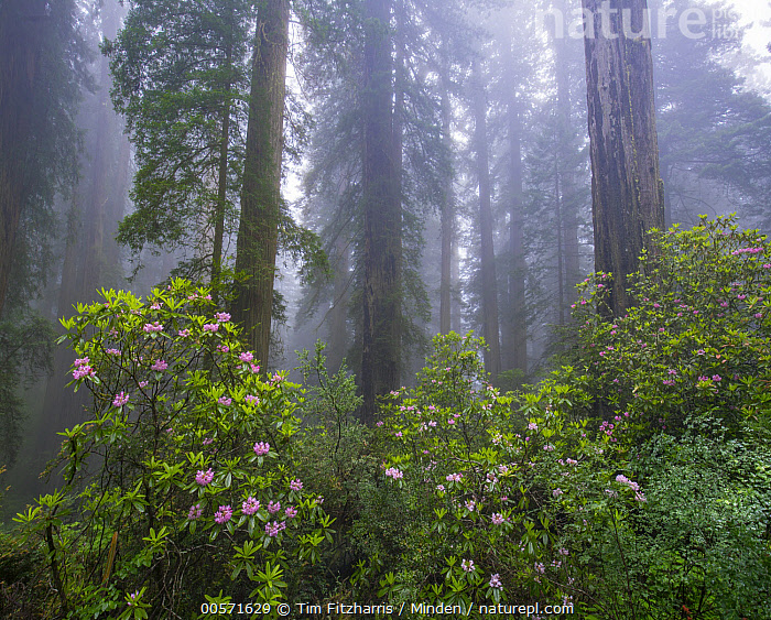 Rhododendron (Rhododendron sp) flowers and Coast Redwood (Sequoia sempervirens) trees in fog, Redwood National Park, California  ,  California, Coast Redwood, Color Image, Day, Flower, Fog, Forest, Horizontal, Interior, Landscape, Nobody, Outdoors, Photography, Redwood National Park, Rhododendron, Rhododendron sp, Sequoia sempervirens, Threatened Species, Tree, Tree Trunk, Vulnerable Species,Rhododendron,Coast Redwood,Sequoia sempervirens,California, USA  ,  Tim Fitzharris