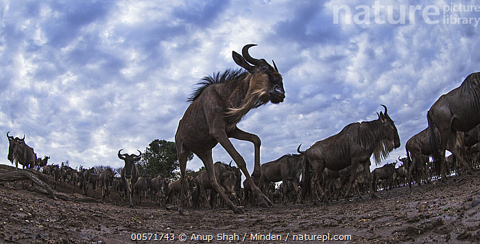 Blue Wildebeest (Connochaetes taurinus) herd migrating, Masai Mara, Kenya  ,  Adult, Blue Wildebeest, Color Image, Connochaetes taurinus, Day, Front View, Full Length, Herd, Horizontal, Kenya, Large Group of Animals, Low Angle View, Masai Mara, Migrating, Nobody, Outdoors, Panoramic, Photography, Side View, Wide-angle Lens, Wildlife,Blue Wildebeest,Kenya  ,  Anup Shah